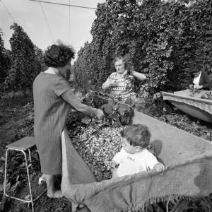 Baby Sitting in a Hop Crib in Marden while Women Pick Hops, 1967