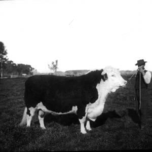 G36-549-08 Bull with handler.jpg