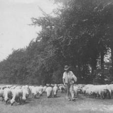 1880 circa Sheep Driven along Green Lanes