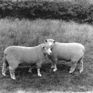 G36-226-10 Two sheep in field.jpg