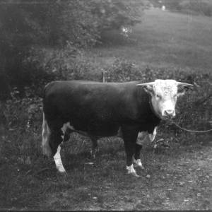 G36-226-12 Hereford bull on halter in field jpg