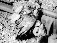 Owl and rat on railway line
