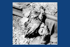 Owl and rat on railway line