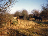 Horses pictured on the Croydon end of Mitcham Common