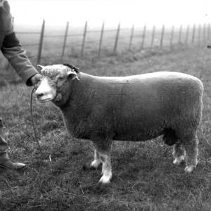 G36-543-02 A sheep with handler.jpg