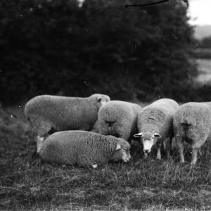 G36-541-12 Five sheep with shepherd in a field.jpg