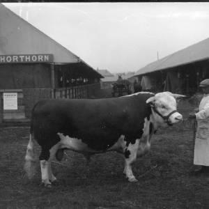 G36-305b-02 Stockman holding Hereford bull.jpg