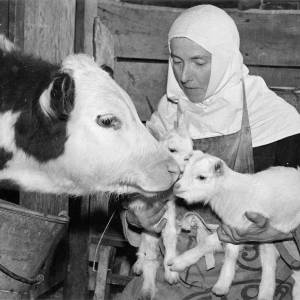Animals on the farm being attended to by a nun from the Order of Poor Clares