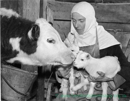 Animals on the farm being attended to by a nun from the Carmelite Order of Nuns