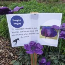 2020 November Purple Poppy a Display in the Kitchen Garden of Houghton Hall Park Houghton Regis