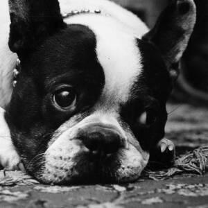 329 - Bulldog