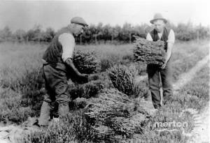 Lavender harvest, Carshalton area