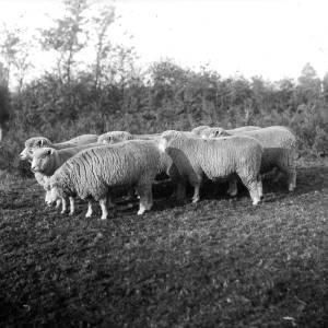 G36-543-06 Eight sheep.jpg