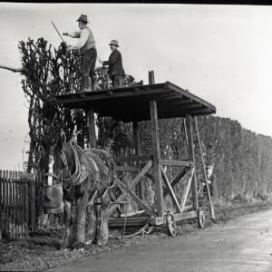 Hop Yard Hedge Cutting, Moore Mill, Dormington