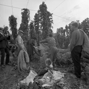 Group Preparing to Bushel Hops and Cameraman in a Hop Yard in Marden, 1967