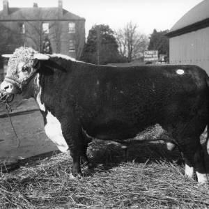 G36-079-13 Bull.jpg