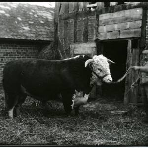 G36-010-10 Bull with handler.jpg