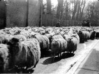 Herding sheep down Whitford Lane ( now London Road )