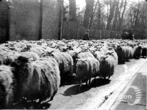 Herding sheep down Whitford Lane ( now London Road )
