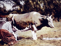 Morden Hall Farm:  Milking