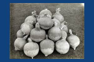 Carters Tested Seeds: Golden Vale turnips