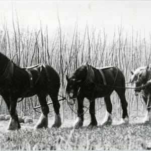 Shire Horses ready to Plough