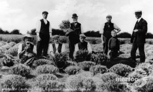 Lavender Fields, Carshalton