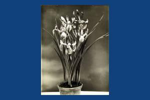Carters Tested Seeds: Iris cultivar
