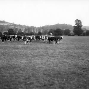 G36-314-06 Herd of Hereford cattle in a field with mounted farmer and stockman.jpg