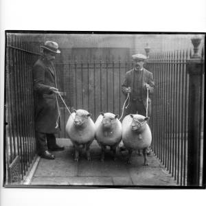 G36-331-02 Two men with three sheep, inside an enclosure of iron railings.jpg