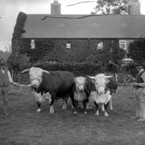 G36-319-11 Hereford bull, cow and calf with owner and stockman, possibly at The Haven, Dilwyn