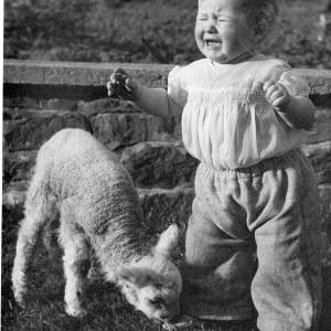 A toddler crying as a lamb nibbles at his feet.
