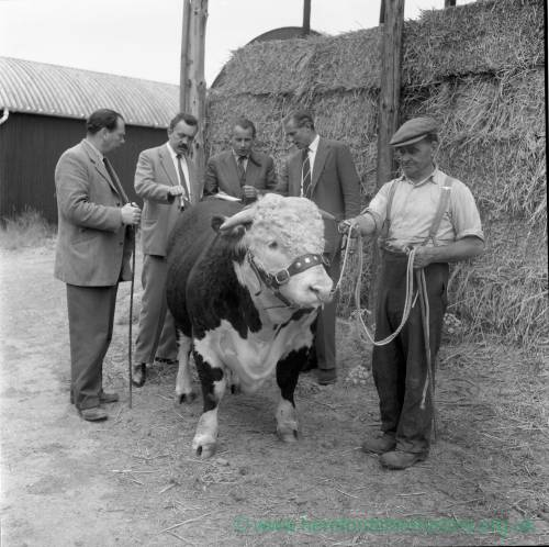 Polish Buyers and Bull at Bishops Frome