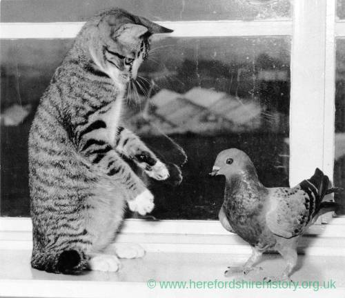 A cat and pigeon facing off on a window sill.
