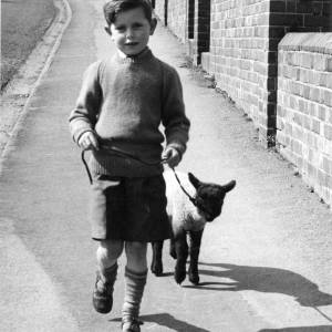 A young boy walking a lamb on a lead, May 1958.
