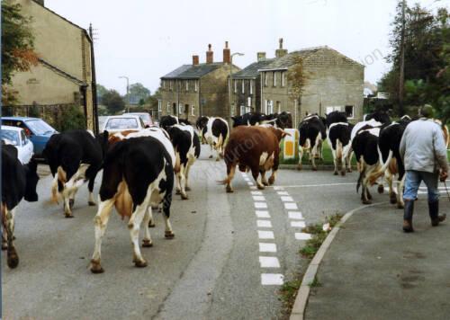 033 Derrick Pickford bringing his cows down Smithy Hill