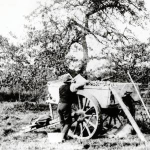 Apple picking, loading the cart