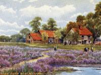 Lavender farm near Merton