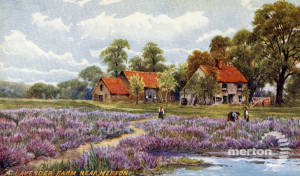 Lavender farm near Merton