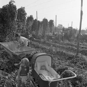 Children in a Herefordshire Hop Yard, 1966