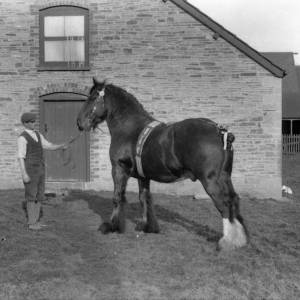 G36-311-05 Shire stallion in courtyard with young farm worker.jpg