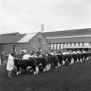 The annual bull show and sale at Hereford market, January 1972.