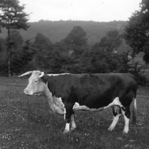 G36-290-13 Cow standing alone.jpg