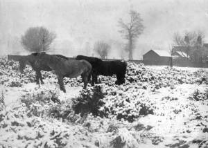 Ponies in the snow, Mitcham Common