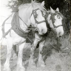 "Horses, ""The Patient Team"", Mordiford c1930"