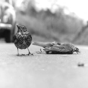 190 - Thrush standing by dead bird