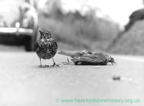190 - Thrush standing by dead bird
