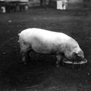 G36-543-07 Pig feeding from a dish in a yard.jpg