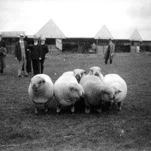 G36-541-14 Sheep at a showground.jpg