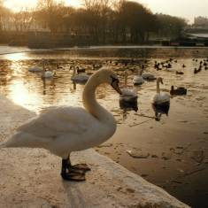 South Marine Park Swans